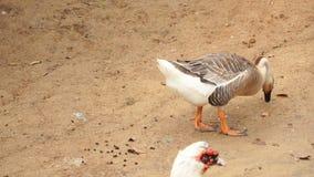 选择鹅和鸭子购买的慢动作农夫 影视素材