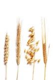 选择麦子 免版税库存照片