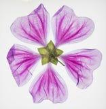 透亮被按的紫色花 免版税库存照片