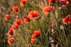 透亮鸦片在草甸,在日落,春天的花在普罗旺斯,法国 库存照片