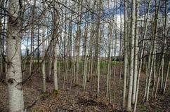 透光白杨木树丛 库存图片
