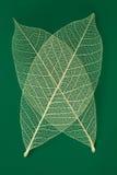 透明干燥的叶子 图库摄影