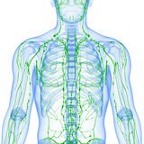 透明淋巴系统查出与白色 图库摄影