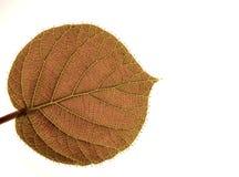 透明猕猴桃的叶子 免版税库存照片