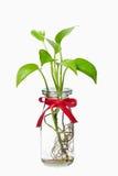透明瓶pothos红色的丝带 免版税库存图片