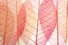 透明的叶子 免版税库存照片