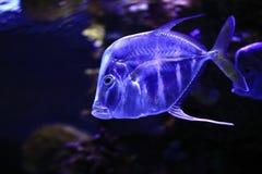 透明的鱼 免版税图库摄影