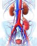 透明肾脏移植 库存图片