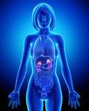 透明解剖学女性的肾脏 免版税库存照片