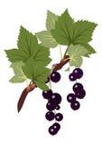 透明b黑色分行无核小葡萄干的叶子 免版税库存照片