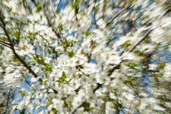 透镜徒升一棵开花的苹果树的行动迷离分支反对蓝天 免版税库存照片