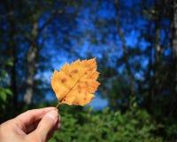 递拿着一片黄色秋天叶子反对森林背景 库存照片