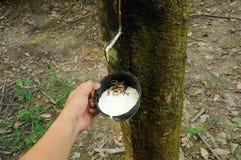递拿着包含未加工的乳状乳汁的橡胶树或三叶胶brasiliensis杯子 免版税图库摄影