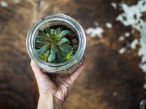 递拿着在玻璃增长的sempervivum多汁植物 免版税库存照片