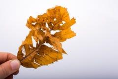 递拿着在白色背景的一片干燥被撕毁的秋天叶子 图库摄影