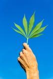 递拿着在蓝天的绿色大麻叶子 库存照片