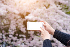 递拿着拍美丽的樱花的照片智能手机 库存图片
