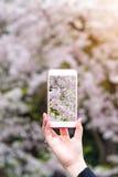 递拿着拍美丽的樱花的照片智能手机 库存照片