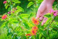 递拿着橙色马樱丹属camara花花束与gre的 免版税库存照片