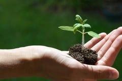 递拿着生长年幼植物,绿色背景,新的生活,从事园艺,环境,生态concep 库存图片