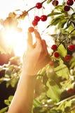 递摘在背后照明的甜樱桃果子 免版税库存图片