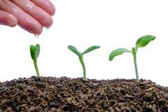 递生长从在白色背景的土壤的浇灌的新芽 免版税库存图片