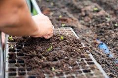 递种田绿色橡木莴苣的幼木在盘子的花匠在s 免版税库存照片