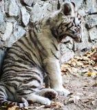 逗人喜爱一只小白色的虎犊 免版税图库摄影