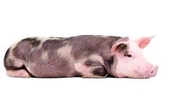 逗人喜爱一点猪说谎 库存图片