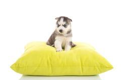 逗人喜爱两只小狗西伯利亚说谎在绿色枕头 免版税库存照片