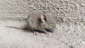 逗人喜爱作为老鼠 免版税图库摄影