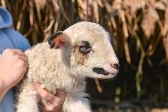 逗人喜爱和可爱的小羊羔Potrait在一个人的胳膊的 免版税库存图片