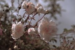 逗人喜爱和浪漫玫瑰园 图库摄影