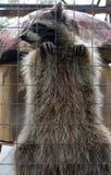 逗人喜爱和滑稽的浣熊 免版税库存照片