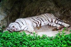 逗人喜爱在绿色树附近的睡觉白色老虎 免版税库存图片
