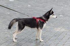 逗人喜爱多壳品种狗摆在 免版税图库摄影