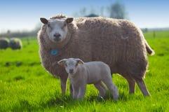 逗人喜爱她的羊羔小的绵羊 库存照片