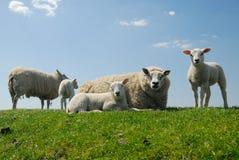逗人喜爱她的羊羔母亲 免版税库存照片
