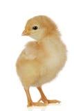 逗人喜爱婴孩的鸡一点 库存照片