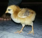 逗人喜爱婴孩的鸡 免版税库存照片
