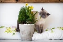 逗人喜爱嬉戏蓝眼睛暹罗小猫嗅盆的春天开花 采用宠物 库存图片