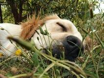 逗人喜爱小狗休眠 库存图片