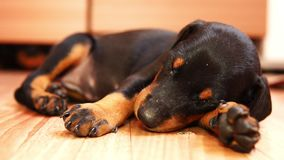 逗人喜爱小狗品种短毛猎犬睡觉 狗一点 股票录像