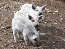 逗人喜爱小猪哺养 免版税库存图片