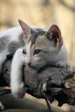 逗人喜爱小猫想知道 免版税图库摄影