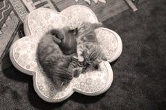 逗人喜爱小猫睡觉 免版税图库摄影