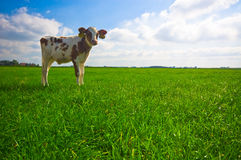 逗人喜爱小的母牛 免版税库存照片