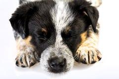 逗人喜爱得克萨斯Heeler小狗睡觉 图库摄影