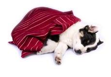 逗人喜爱得克萨斯Heeler小狗睡觉 免版税库存图片