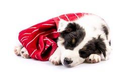 逗人喜爱得克萨斯Heeler小狗睡觉 库存图片